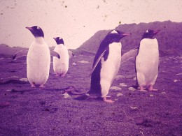 Gentoo Penguins on MacQuarie Island.  One of the four species found there.