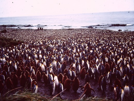 Here are part of the half-million King Penguins at the Lusitania Bay rookery on MacQuarie