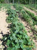 The Gardener's Companion: Growing cucumbers and squash::Grow cucumbers upright