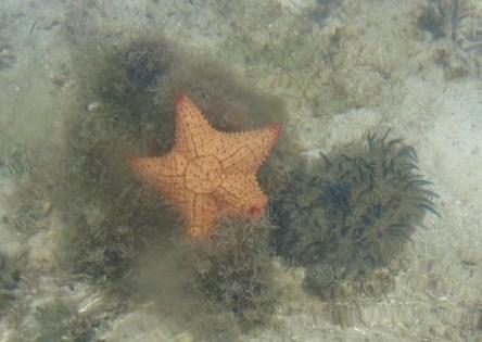 sea star and Cassiopeia