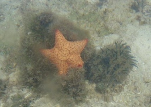 sea star and Cassiopeia