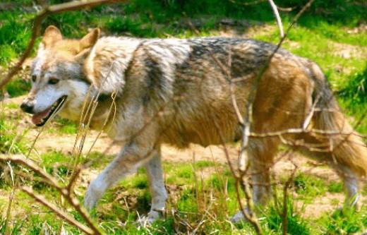 Wolves howling, kabir, morguefile
