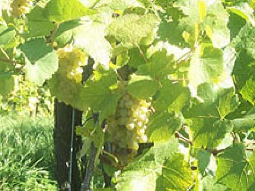 Wine growing in KItzeck