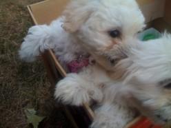 My Shih Tzu-Bijon Puppy is a Bully!