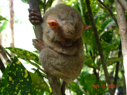 an adult tariser nestled on a small tree