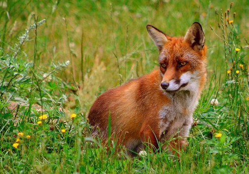 The majestic red fox, Vulpes vulpes.