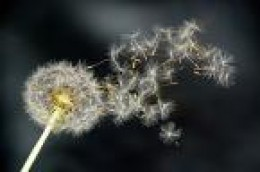 the dandelion for making a wish come true