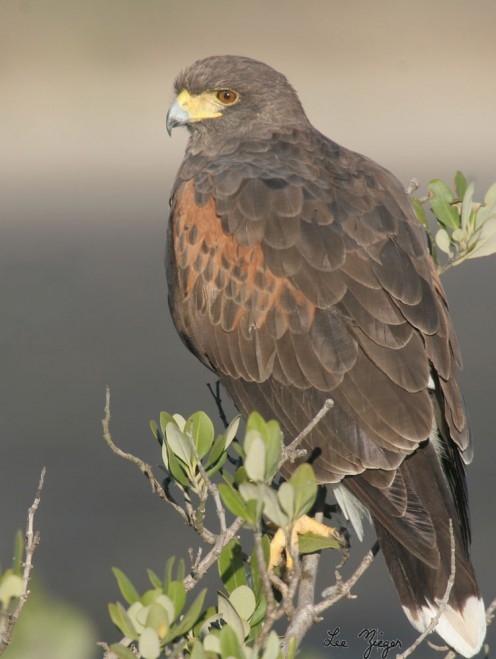 A female Harris hawk on a tree branch
