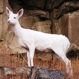 White, Leucistic and Albino Deer.