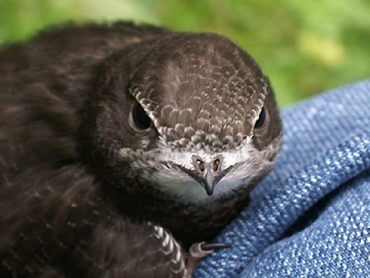 This young swift will soon leave the nest and head for Africa.