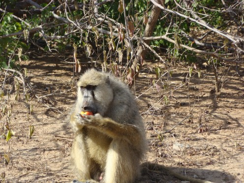 Baboon eating our apples in Tanzania