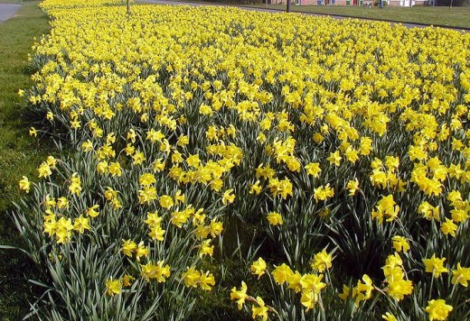 The closely planted daffodils resemble the stars in the Milky Way in their density in greenspace and their bright color.