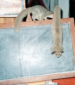 Rafiki and Abu teaching a shool lesson on the blackboard.