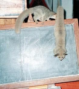 Rafiki and Abu teaching a shool lesson on the blackboard.