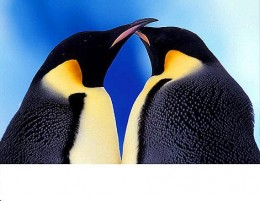 Pair of Emperor Penguins - an intimate relationship