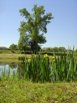Irises growing on the edge of a pond near Videix