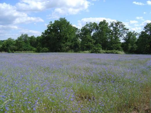 Fields of corn flowers.