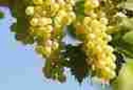 The great Chardonay grape