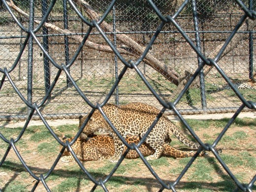 Leopards in the High Altitude Nainital Zoo