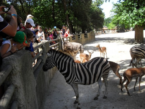 Zebras feed for around 20 hours a day.
