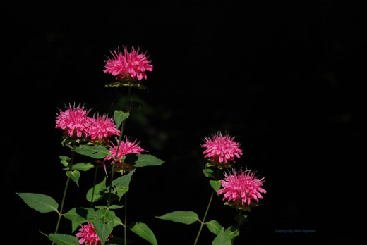 Bee balm in noon sunlight against the black of a shaded woods.