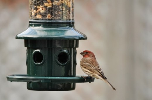 A finch perched at a Squirrel Buster Plus feeder from Brome Bird Care.