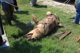 This dead dolphin is a casualty of the BP oil spill.