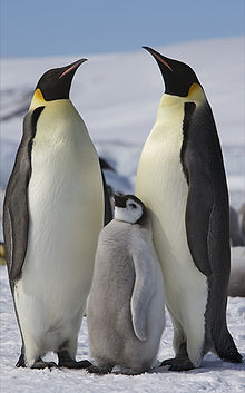 Emperor penguins are seasonal maters, braving their Antarctic mating grounds each year.
