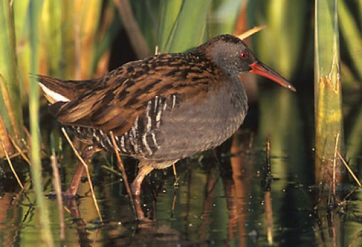 The elusive water rail. Photograph courtesy of Marek Szczepanek.