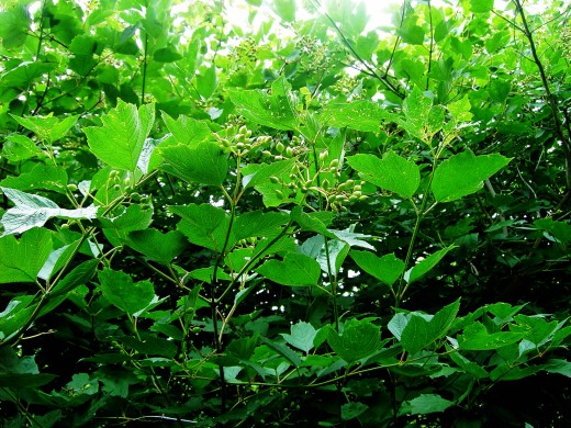 Guelder rose forming the green fruits. Photograph by D.A.L.