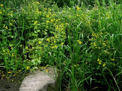Mimulus flowers by the pond side.Photograph by D.A.L.