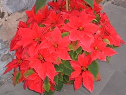 Poinsettia in a pot Photo by Steve Andrews