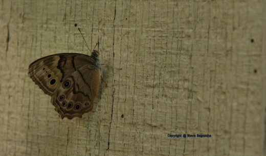 A northern pearly eye satyr rested on the garage wall this evening.