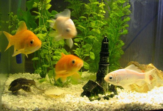 goldfish tank. your goldfish tank so that