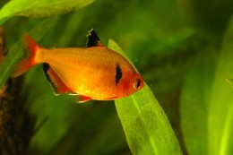 Tetra Freshwater Tropical Fish, Keeping and Caring For Tetra Tropical ...