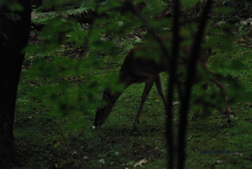 This deer is eating fungi during an early morning shower.