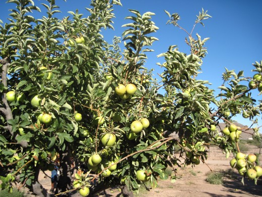 Granny Smith apples in an orchard in Wilcox, Arizona