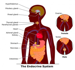 The Endocrine System Best Advice Simply Leave Alone