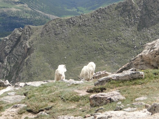 Mountain Goats up in the mountain