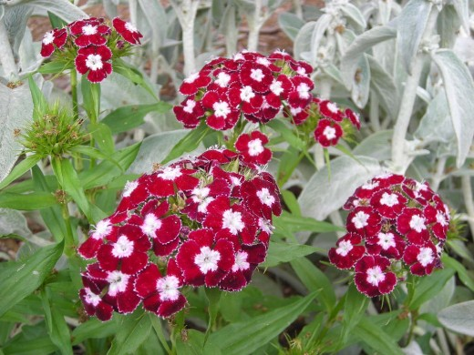 OH SWEET WILLIAM.