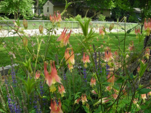 COLUMBINES IN THE BREEZE.