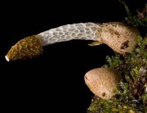 Two inch mushroom