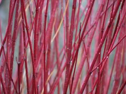 The beauty of Red Osier Dogwood in winter. Photo by Nol Zia Lee.