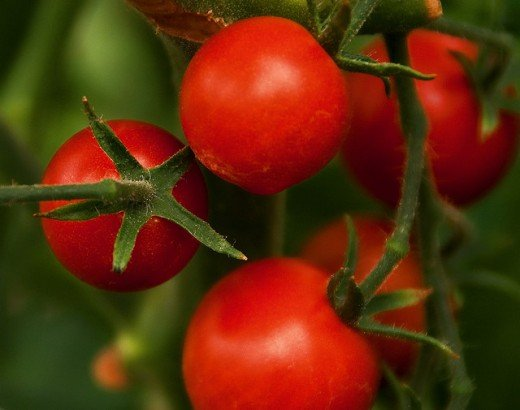 Cherry tomatoes are one of the most popular vegetables for home kitchen gardens. Photo by GenBug.