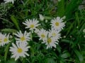 Daisy-like Cultivars and the Names of Wild Relatives -part Four, Late Summer Flowers