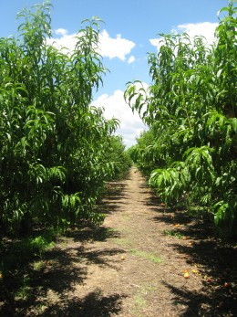 A Row of Peach Trees