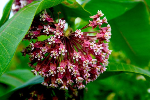 Common Milkweed. Photo by gmayfield10.