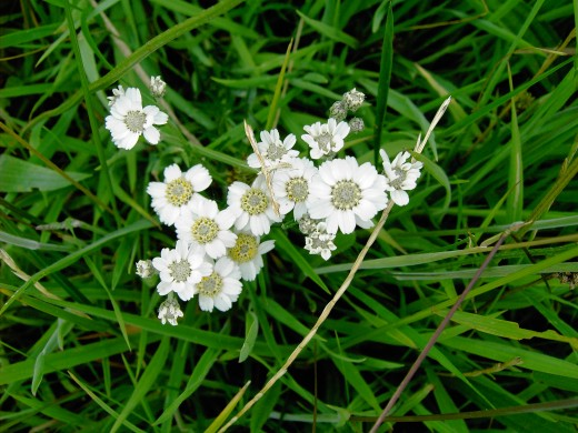 The larger more daisy like flowers of the sneezewort.photograph by D.A.L.
