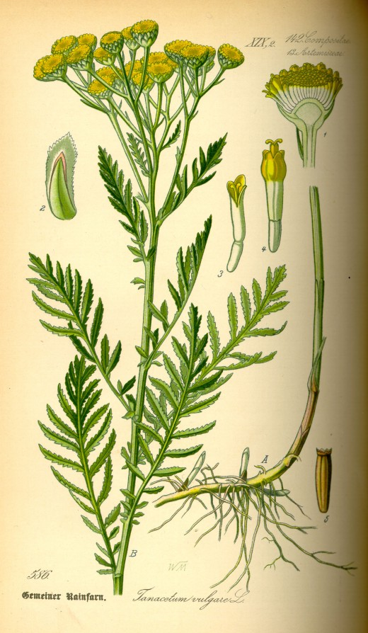 COMPONENTS OF TANSY.
