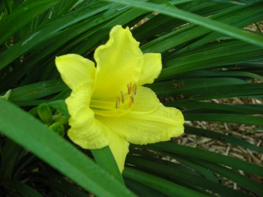 STELLA D'ORO. OUR FIRST DAYLILY. BLOOMS GALORE.